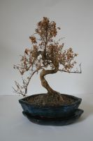 Stock - Dead Bonsai 2 by OghamMoon