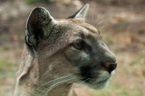 Florida Panther by Univirsul