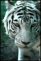 White tiger by tweetythebird