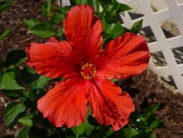 Hibiscus in Red by BlackFlameVampire
