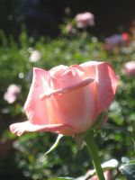 pink rose stock 2 by music-lover-stock