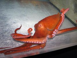 Giant Pacific Octopus 4 by ParanoidFreaksStock