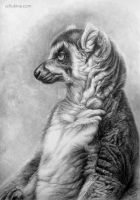 Ring-tailed lemur by sschukina