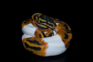 Piebald Ball Python II by Phoenix-Cry
