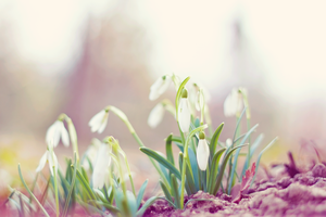 Snowdrops by nomatterwhy