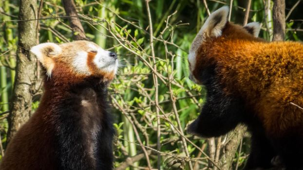 Red Pandas by MartyMcFly81