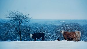 Cows by duronboy