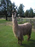 Another Motherf__kn Llama Pic by marigrace