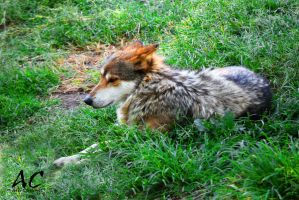 Mexican Wolf - Lobo Mexicano by axelmartinez22