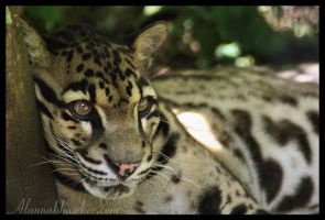 Clouded Leopard 02 by Alannah-Hawker