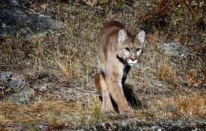 roaming cougar by Yair-Leibovich