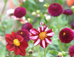 dahlias cologne 5 by ingeline-art