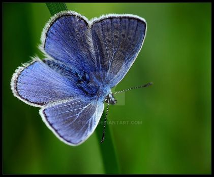 Blue butterfly by dtr777