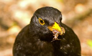 Blackbird with food by davepphotographer