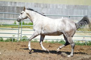 Grey quarter horse small leap in canter by equustock