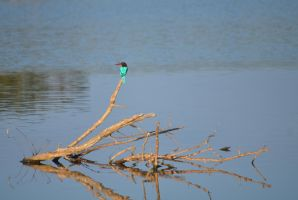 Kingfisher. Yala. SE Sri Lanka by jennystokes