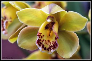 More Orchid On Mom's Day by shutterbugmom