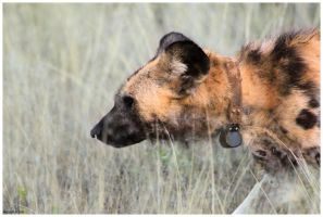 African Wild Dog Profile by Nyeleti