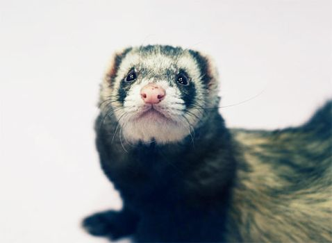 The ferret by aisance