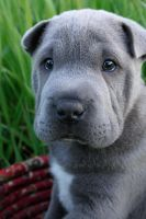 Shar Pei Pup by LauraWixson