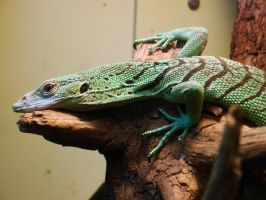 P - Emerald Tree Monitor by Dunkleosteus-noir