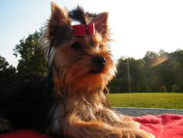 Look to the North. by Show-us-Yorkies