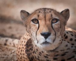 Cheetah by DeniseSoden