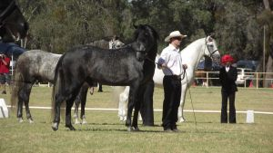 Dark Grey Andalusian Stallion by wildbrumby