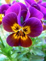 Violet and Yellow Pansy by Azagh