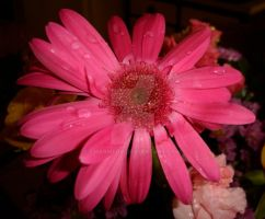 Hot Pink Daisy by charmedy