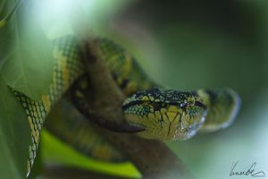 Wagler's Pit-Viper by vetchyKocour
