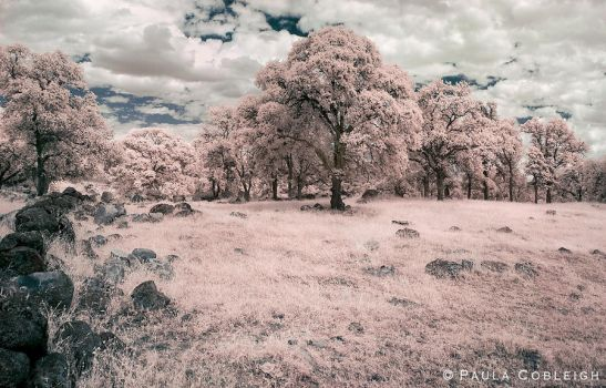 Black Oaks - Infrared by La-Vita-a-Bella