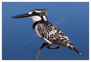 Pied Kingfisher Portrait by MrStickman