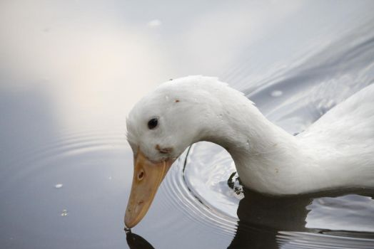 The White Duck by EarthlyDelight