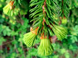 spruce needles by Mittelfranke