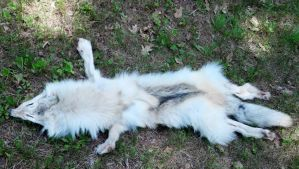 Wolf pelt outside by sashabff