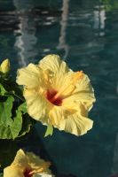 Yellow Hibiscus by GreenEyezz-stock
