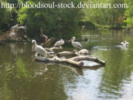 Pelicans by Bloodsoul-Stock