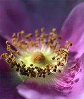 Wild Rose by andras120