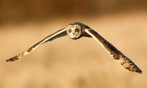 Twenty past eight-Short-eared owl for Crayonmaniac by Jamie-MacArthur
