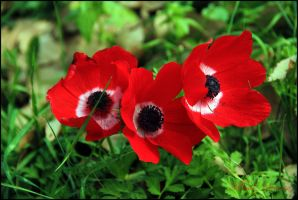 Three red anemones by ShlomitMessica