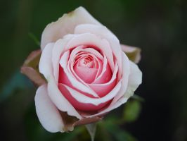 Pink Rose. by asaluiphotography