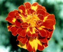 Macro Marigold by bewilderedconfused