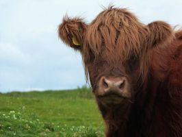 Highland Cow by rhubarbandcustard12