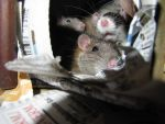 Ratten I by Han-Bot