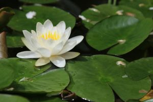 Water lily Stock 04 by Malleni-Stock