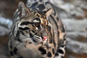 Clouded Leopard Redux by robbobert