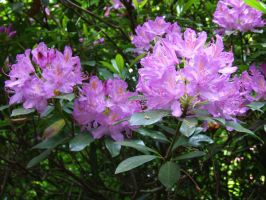Rhododendron Flower 1 by TimeWizardStock
