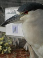 The Night Heron by romeoandrebecca