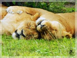 Cuddling lionesses by Nojjesz